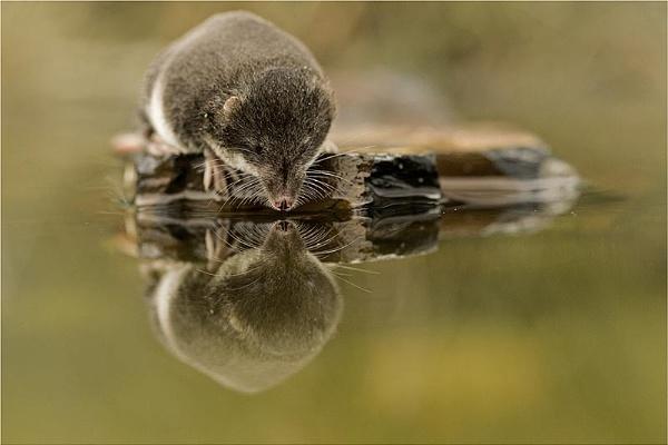 Water shrew & reflection by hibbz