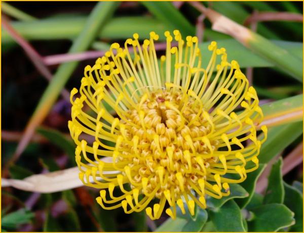 Banksia Blossom by Jocelia