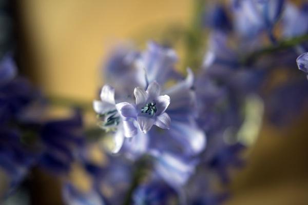 Macro Bluebells by dudders82