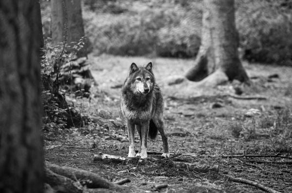Lone wolf by MattK