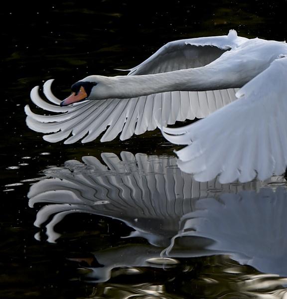 Low swan by Earthwatcher