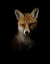 fox by clintnewsham