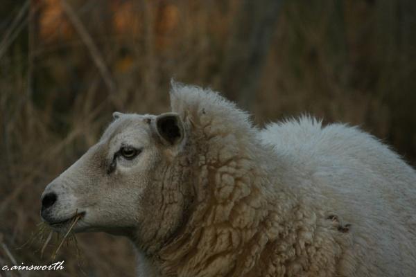 sheep by chainshot