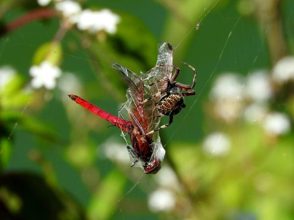 dragon fly caught by gautamc
