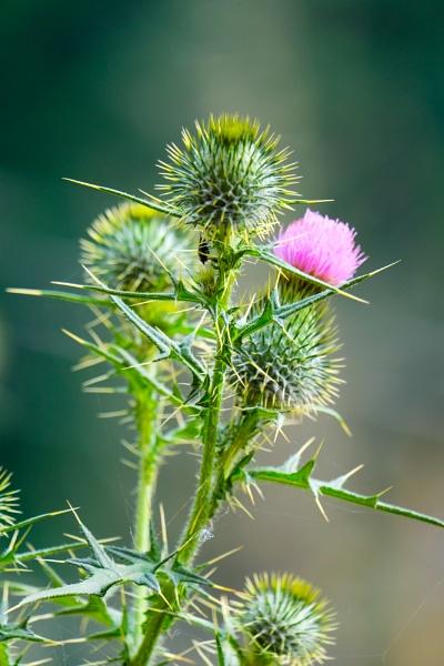 beautiful thorns