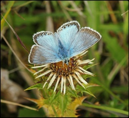 Male Chalkhill Blue on Carline Thistle