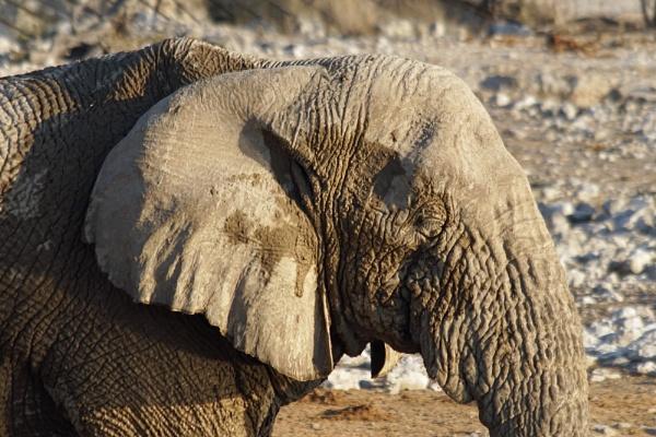 Elephant at Okaukuejo Camp by jinstone
