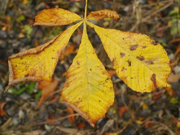 Autumn Chestnut by mikesavage
