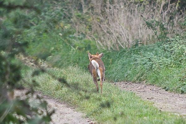 Roe Deer ?