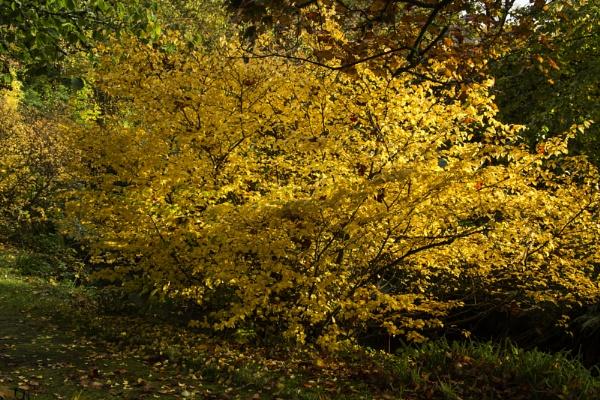 Golden Tree by Irishkate