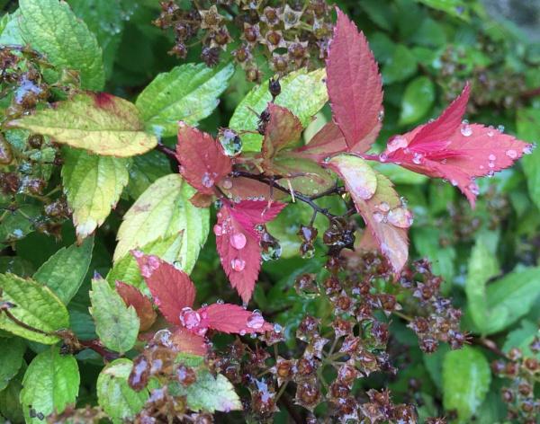 Spiraea japonica by speeedyblue2