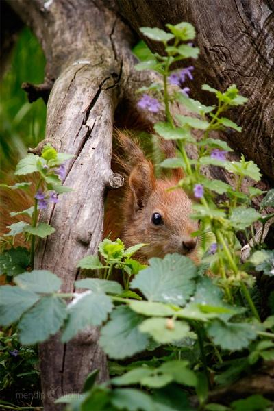 European Red Squirrel - Sciurus vulgaris by Mendipman