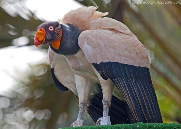 King Vulture (Sarcoramphus Papa) part 1 by brian17302