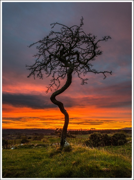 Contorted Hawthorn by Nigeve1