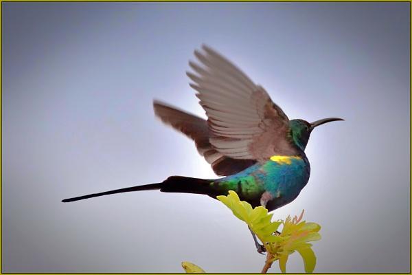 Malachite Sunbird by fotobee