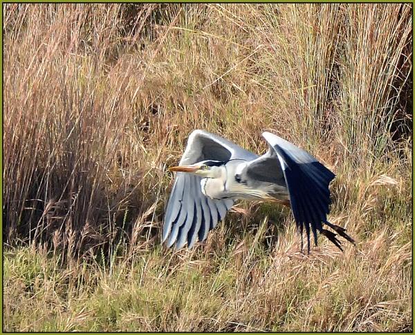 Grey heron (Ardea cinerea) by fotobee