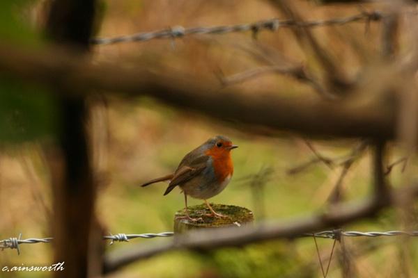 robin by chainshot