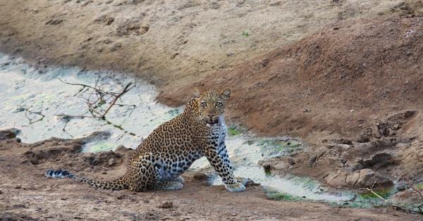 Luangwa Leopard by vickyf