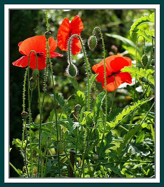 poppys by mickr