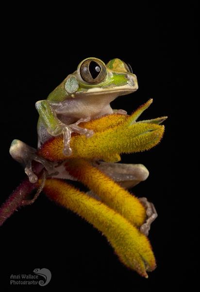Peacock frog by Angi_Wallace
