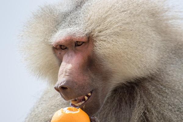 Baboon Orange Time by WorldInFocus
