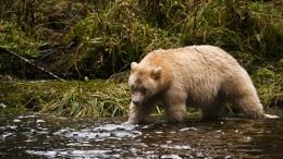 Spirit Bear Fishing