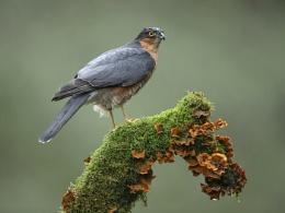 Sparrow hawk in the Rain