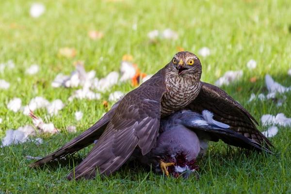 Sparrow Hawk by stevew10000