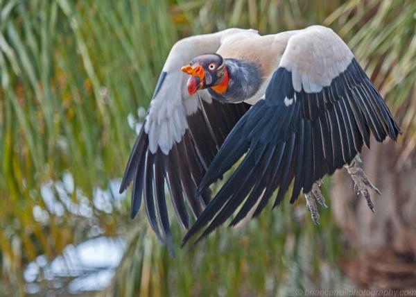 King Vulture (Sarcoramphus Papa) part 2 by brian17302