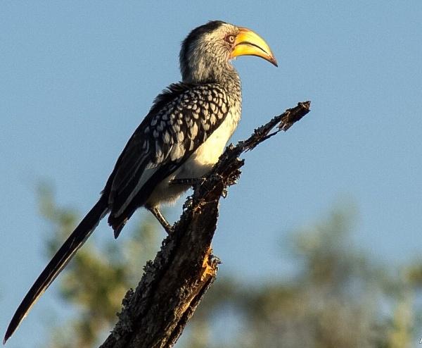 Hornbill by ColleenA