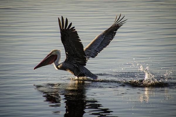 Pelican 2 by gajewski