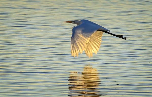 Egret by gajewski
