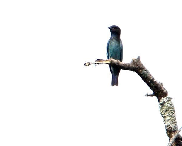 The dollarbird by tjt4002