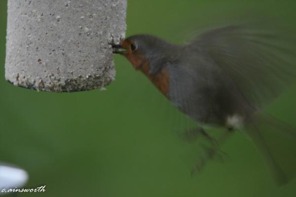 robin in full flutter by chainshot