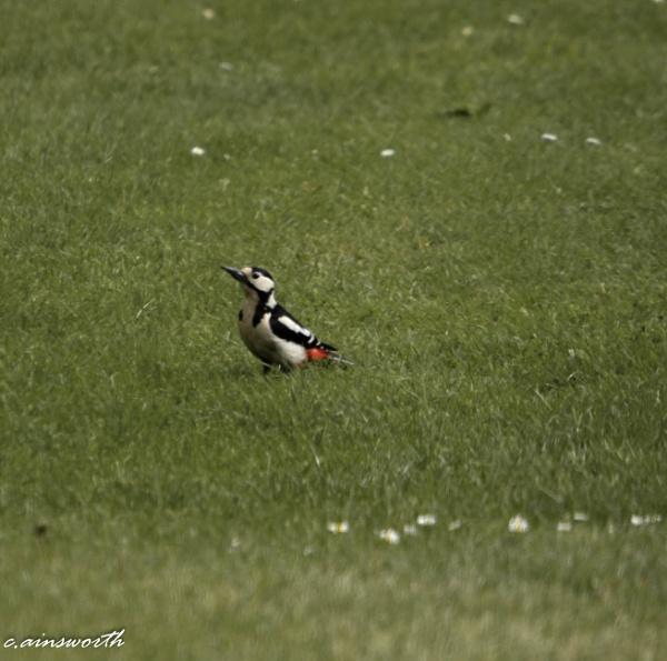 woodpecker by chainshot