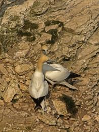 Gannets at Bempton