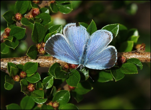 Holly Blue by Glostopcat