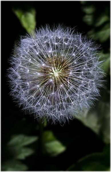 Dandelion Globe ! by badgerwil70