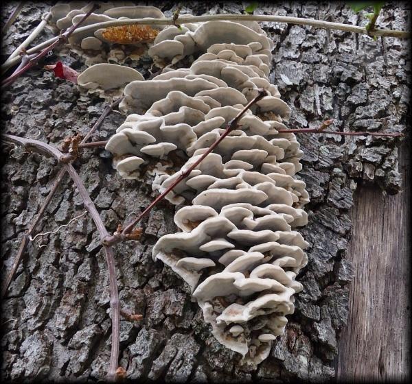 Smokey Bracket Fungus by HobbitDave