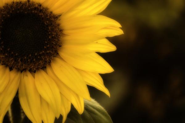 Sunflower by dawnstorr