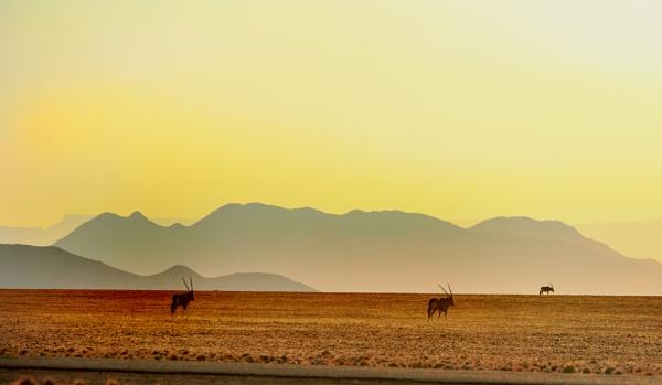 Gemsbok Oryx in the early morning sunrise by pf