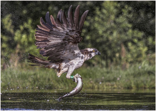 Osprey with successful catch. by AnnJ