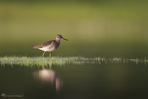 Wood Sandpiper by zimen