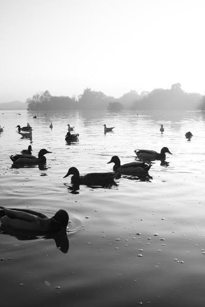 ducks by psjekel
