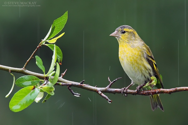 Siskin in the Rain by SteveMackay