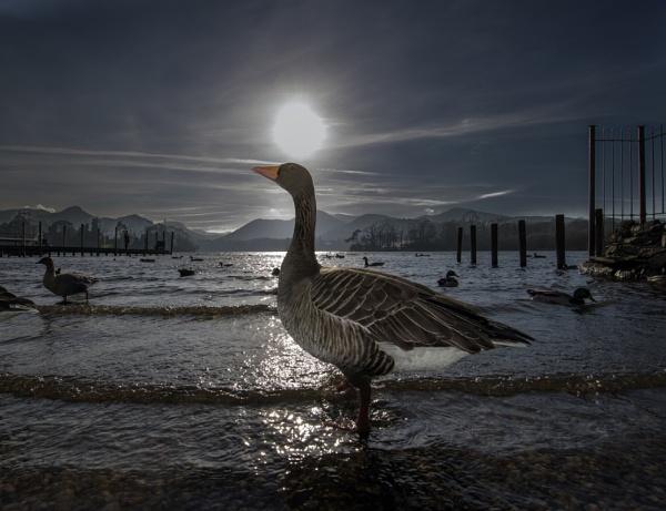 Greylag Goose by MrJingles