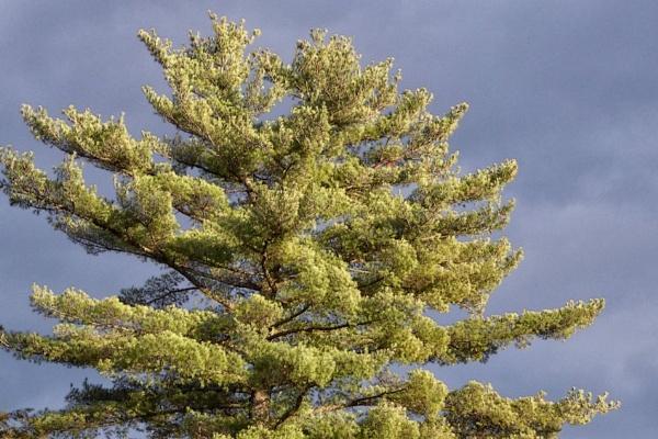 Pine in Storm Light by Joline