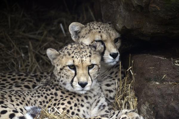 A pair of Cheatah Cubs by peterthowe