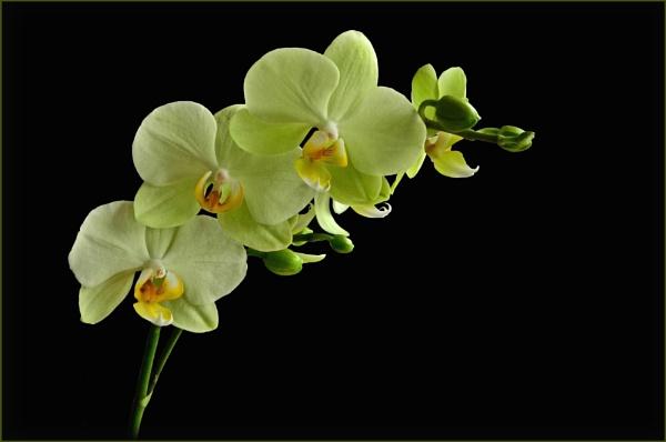 "\""Phalaenopsis\"" by RonnieAG"