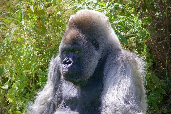 Gorilla! by cheddar-caveman